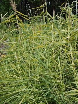 Phragmitis australis 'Variegatus', Sumpfrohr, Schilfrohr - Bild vergrößern