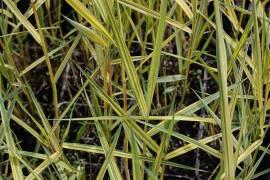 Phragmites australis 'Variegatus', Gemeines Schilfrohr - Bild vergrößern