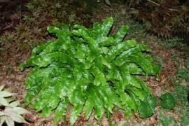 Phyllitis scolopendrium Hirschzungenfarn - Bild vergrößern