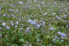 Polemonium reptans 'Blue Pearl', Jakobsleiter - Bild vergrößern