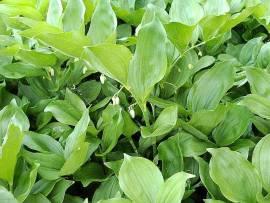 Polygonatum hirtum 'Waldzwerg', Salomonsiegel - Bild vergrößern