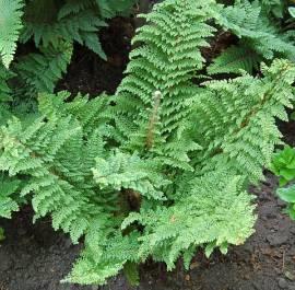 Polystichum setiferum 'Plumosum Densum'  Flaumfeder Filigranfarn - Bild vergrößern