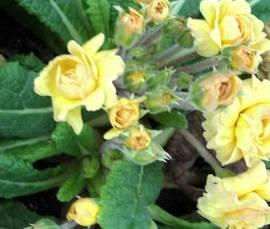 Primula x polyantha 'Sunshine Susie', gefüllte Gartenprimel - Bild vergrößern