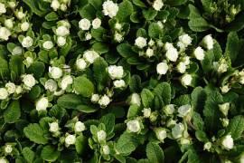 Primula x polyantha 'Dawn Ansell', gefüllte Gartenprimel - Bild vergrößern