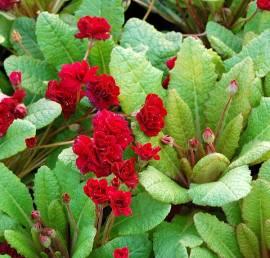 Primula x polyantha 'Captain Blood', Gartenprimel, gefüllt - Bild vergrößern
