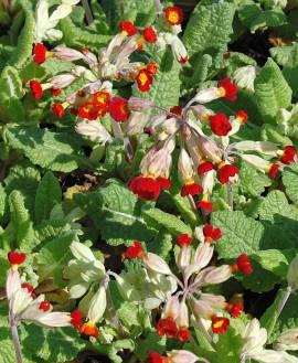 Primula elatior 'Rote Auslese', Schlüsselblume - Bild vergrößern