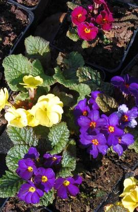 Primula x pruhoniciana 'Wanda', Frühlingsprimel - Bild vergrößern