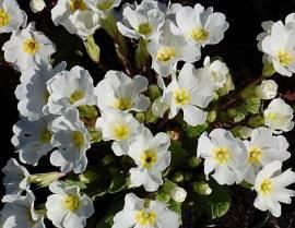 Primula x pruhoniciana 'Schneewittchen', Frühlingsprimel - Bild vergrößern