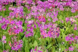 Primula Bullesiana - Hybriden, Etagenprimel, Pastellfarben - Bild vergrößern