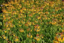 Primula bulleyana, Etagenprimel, orange Töne - Bild vergrößern