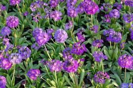 Primula denticulata 'Blaue Auslese' Kugelprimel,blauviolett - Bild vergrößern