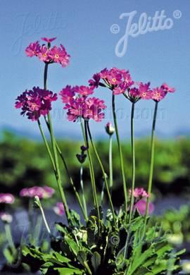 Primula farinosa, Mehlprimel - Bild vergrößern
