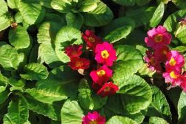 Primula x pruhoniciana 'Rosa',Frühlingsprimel - Bild vergrößern