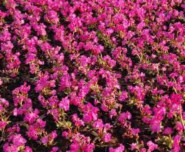 Primula x rosea, Rosenprimel - Bild vergrößern