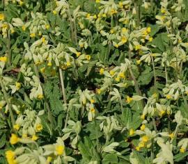 Schlüsselblume, Primula veris - Bild vergrößern