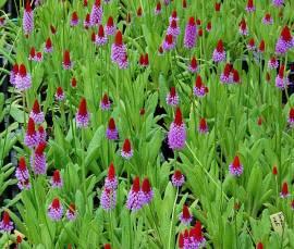 Primula vialii, Orchideenprimel - Bild vergrößern