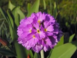 Primula denticulata 'Rubin' Kugelprimel, rubinrot - Bild vergrößern