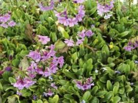 Primula poissonii, chinesische Primel - Bild vergrößern