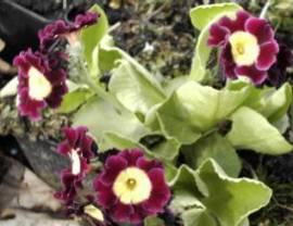 Primula x pubescens 'Exhibition Red', Gartenaurikel - Bild vergrößern