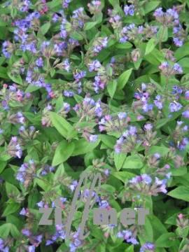 Lungenkraut, Pulmonaria angustifolia 'Blaues Meer' - Bild vergrößern