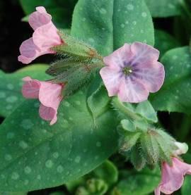 Pulmonaria saccharata 'Pink Dawn', Lungenkraut - Bild vergrößern