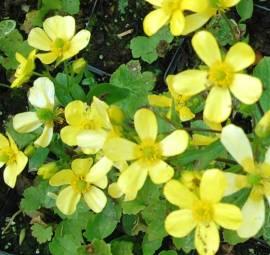 Ranunculus cortusifolius, Kanaren-Hahnenfuß - Bild vergrößern