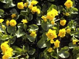 Ranunculus acris 'Multiplex', gefüllter scharfer Hahnenfuß - Bild vergrößern