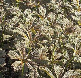 Rodgersia podophylla  Schaublatt - Bild vergrößern