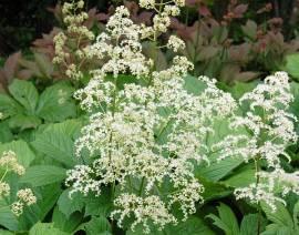 Rodgersia aesculifolia Schaublatt - Bild vergrößern