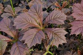 Schaublatt, Rodgersia podophylla  'Rotlaub' - Bild vergrößern