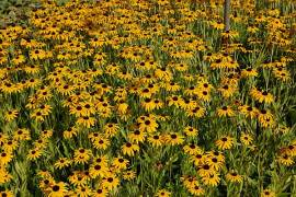 Rudbeckia fullgida var. speciosa, Sonnenhut - Bild vergrößern