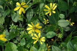 Rudbeckia laciniata, Sonnenhut, schlitzblättriger - Bild vergrößern