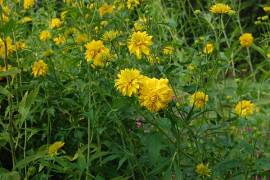 Rudbeckia laciniata 'Goldquelle', Sonnenhut - Bild vergrößern