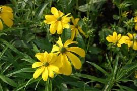 Rudbeckia nitida 'Juligold', Sonnenhut - Bild vergrößern