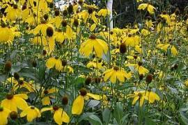 Rudbeckia nitida 'Herbstsonne', Sonnenhut - Bild vergrößern