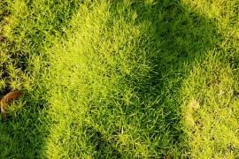 Sternmoos, Sagina subulata 'Aurea' - Bild vergrößern