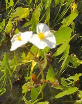 Sagittaria sagittifolia, Pfeilkraut - Bild vergrößern