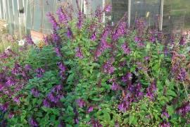 Salvia 'Amistad' - Bild vergrößern