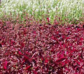 Salvia lyrata 'Purple Knockout', Salbei - Bild vergrößern