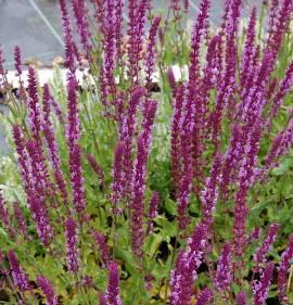 Salvia nemorosa 'Amethyst' Steppensalbei - Bild vergrößern