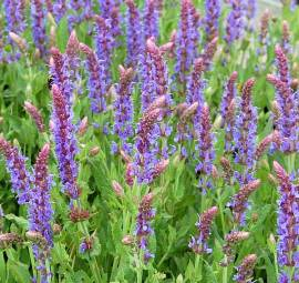 Salvia nemorosa 'Blauhügel' Steppensalbei - Bild vergrößern