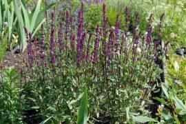 Salvia nemorosa 'Caradonna' Steppensalbei - Bild vergrößern