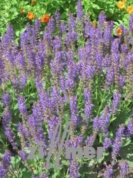 Salvia nemorosa 'Mainacht' Steppensalbei - Bild vergrößern