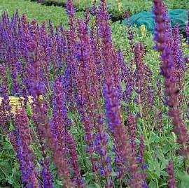 Salvia nemorosa 'Tänzerin' Steppensalbei - Bild vergrößern