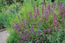 Salbei, Salvia officinalis - Bild vergrößern