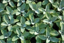 Salvia officinalis 'Berggarten', Salbei - Bild vergrößern