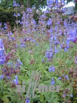 Salbei, kleinblättriger, Salvia officinalis 'Grete Stölzle' - Bild vergrößern