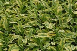 Salvia officinalis 'Icterina', Gelbbunter Salbei - Bild vergrößern