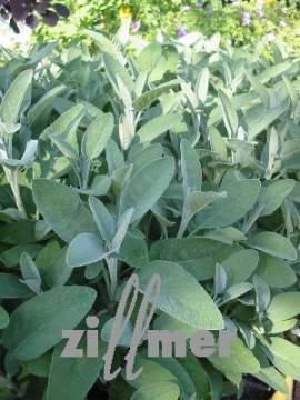 Salvia officinalis 'Würzburg', Salbei - Bild vergrößern