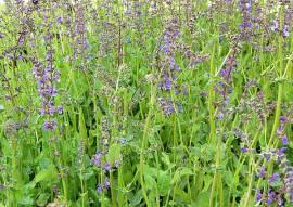 Salvia pratensis, Wiesensalbei - Bild vergrößern